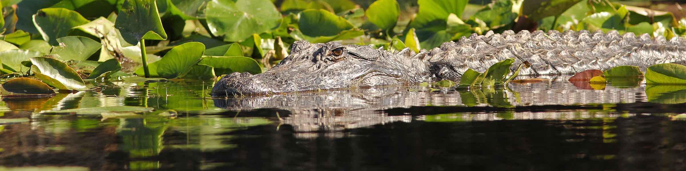 Alligator in the swamp.