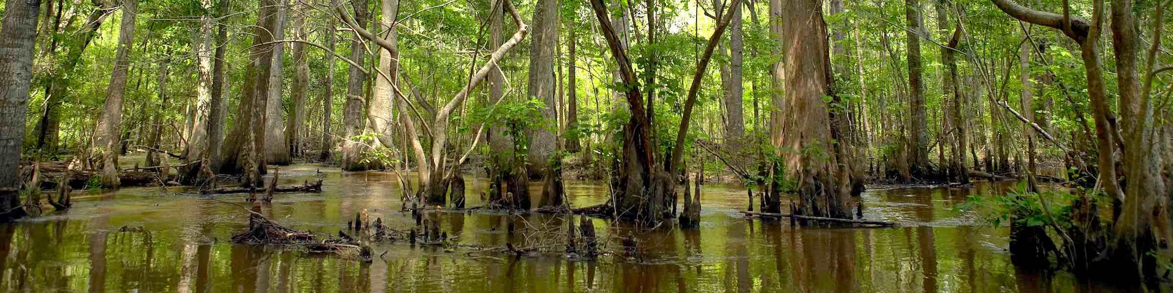 Swamp trees along the Altamaha River, Georgia.