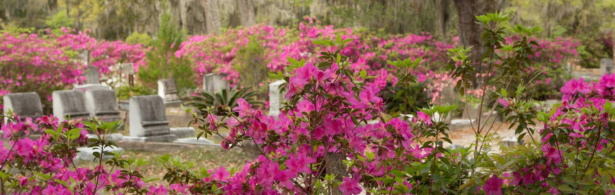 Azaleas in bloom in Savannah's Bonaventure Cemetery.