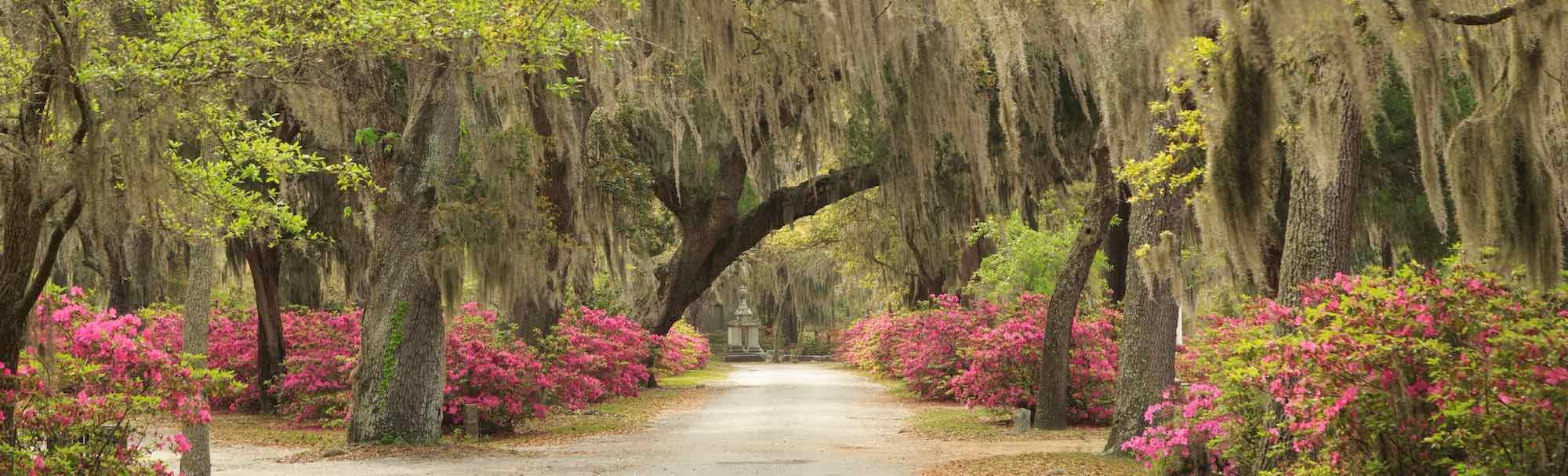 An azalea-and-oak-lined avenue in Bonaventure Cemetery, Savannah, GA.