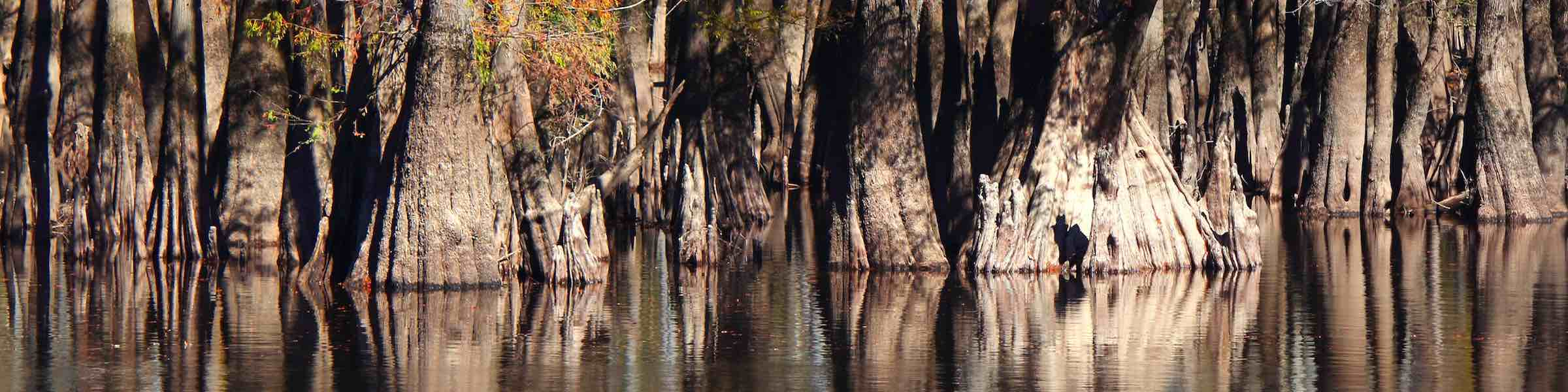 Cypress trees in the swamp.