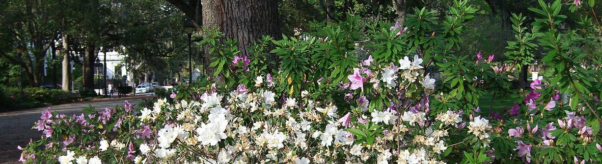 The flowers of Savannah's Forsyth Park in spring.