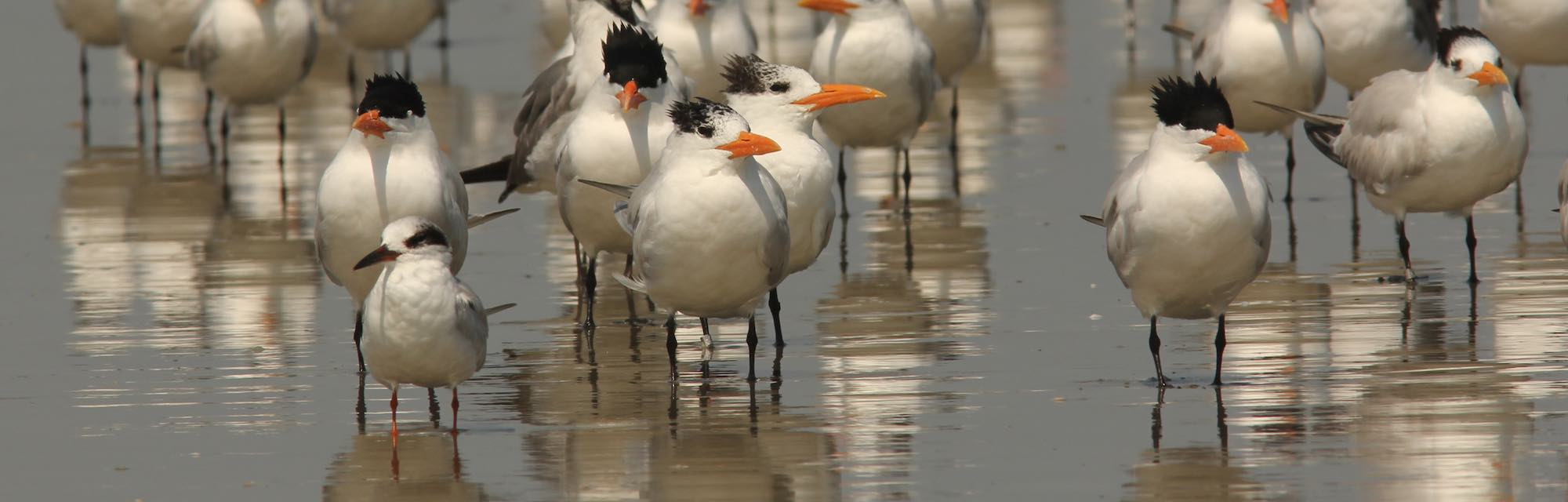 Terns standing in the water at the beach.