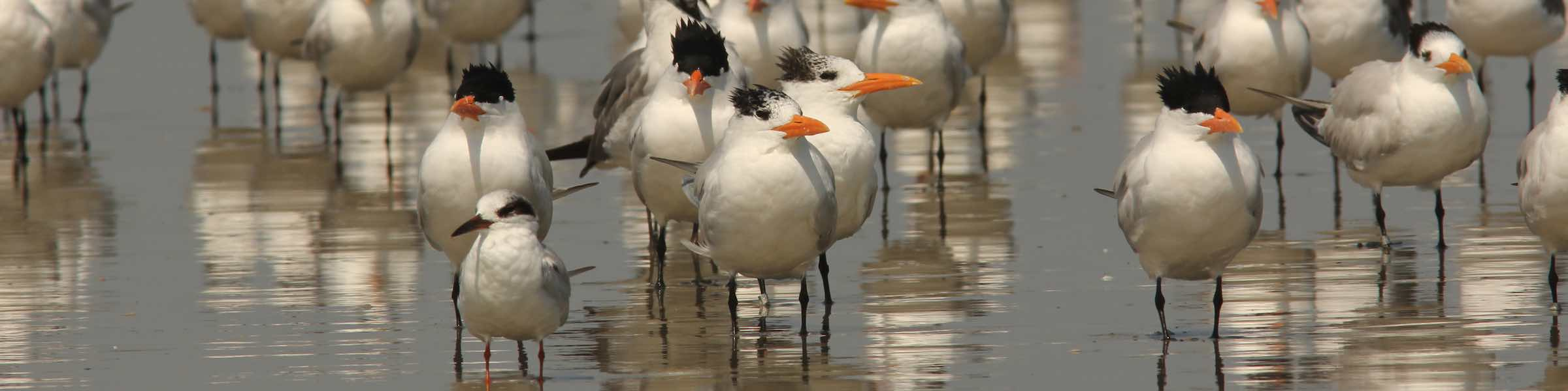 Terns standing in the water on a Georgia beach.