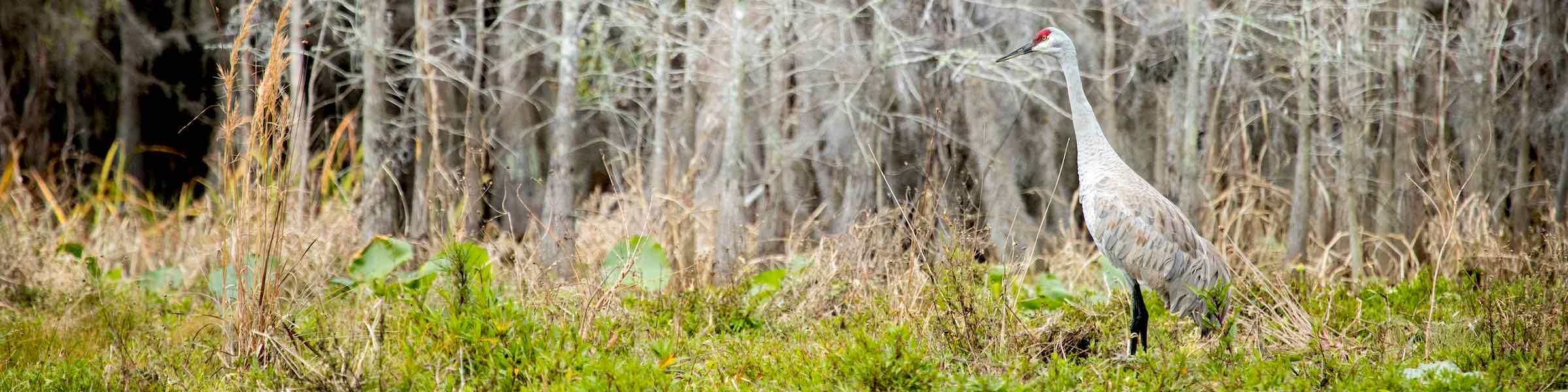 Sandhill crane in the Okefenokee Swamp, Georgia.