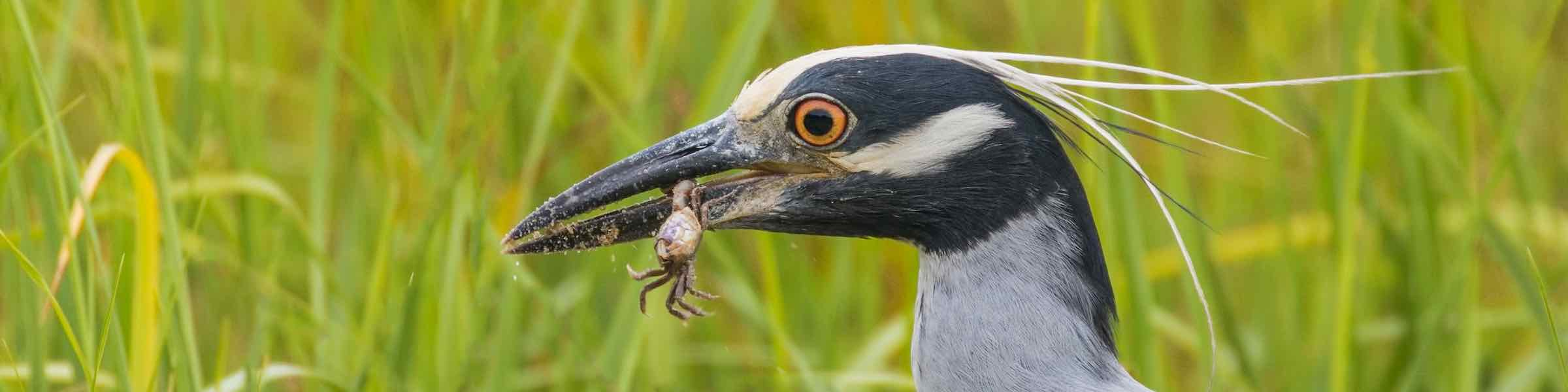 Yellow-crowned night heron with a little crab in its beak.